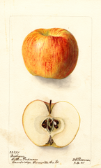 Apples, Bashaw (1901)