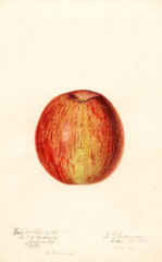 Apples, Vasilis Largest (1892)