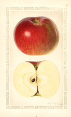 Apples, Baxter (1928)
