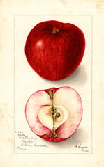 Apples, Baxter (1905)