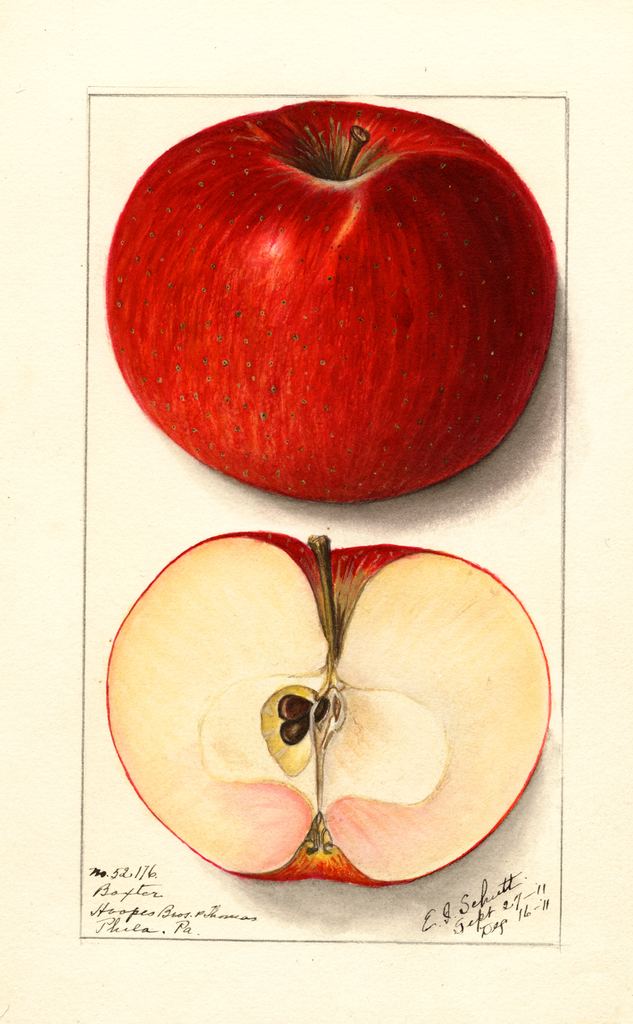 Apples, Baxter (1911)