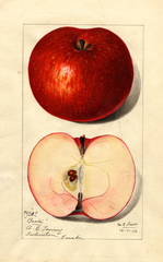 Apples, Baxter (1916)