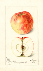 Apples, Bay (1898)