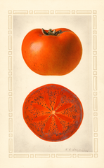 Persimmons, Godbey (1924)