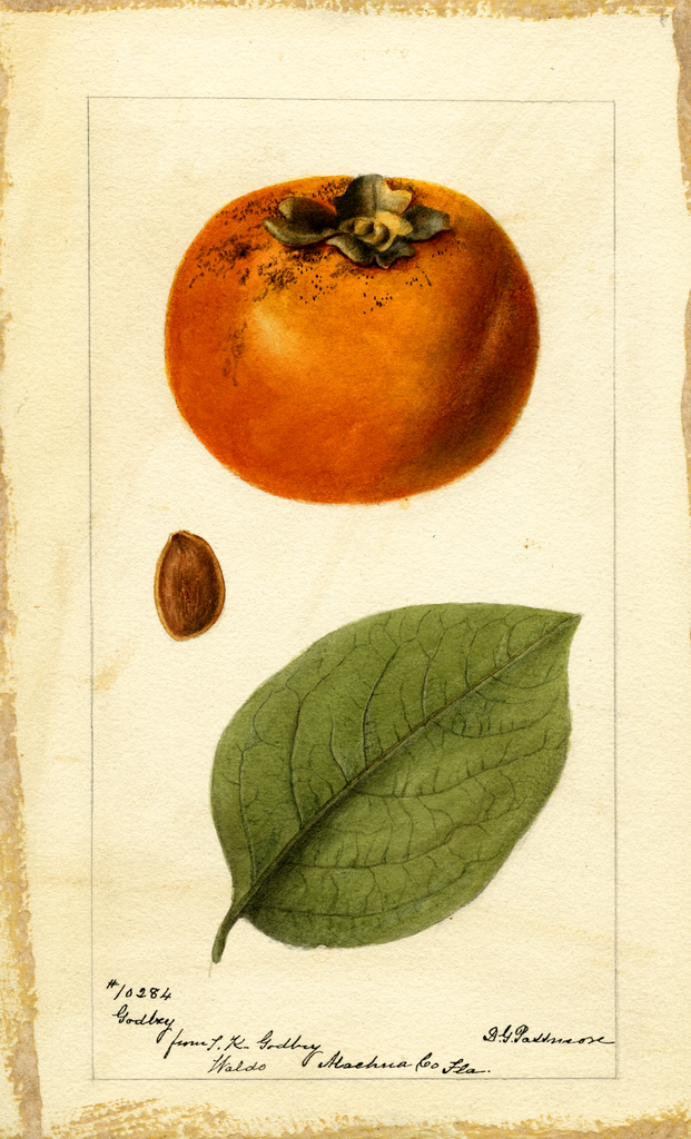 Persimmons, Godbey