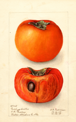 Persimmons, Godbeys Seedless (1909)