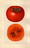 Persimmons, Godbeys Seedless (1925)