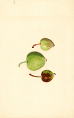 Apples, Turley (1937)