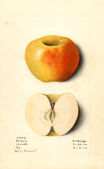Apples, Benham (1914)