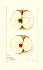 Apples, Greenville (1912)