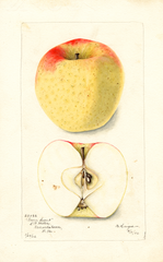 Apples, Green Sweet (1902)