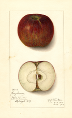 Apples, Greyhouse (1913)