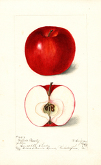 Apples, Griffins Beauty (1899)