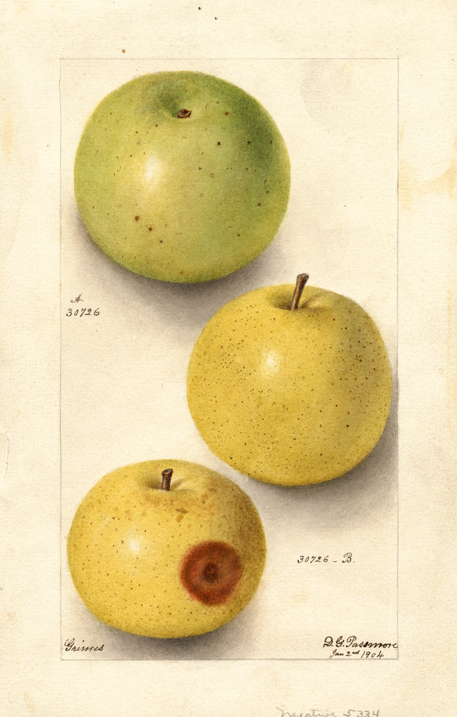Apples, Grimes (1904)