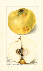 Quinces, Pineapple (1898)