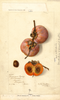 Persimmons, American Honey (1906)