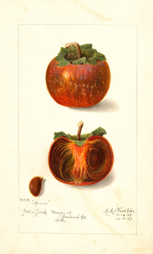 Persimmons, Amis (1909)