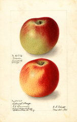 Apples, Baldwin (1905)