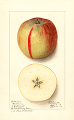 Apples, Baldwin (1913)