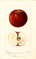 Apples, Baltimore (1896)