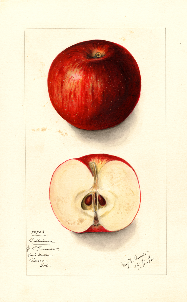 Apples, Baltimore (1912)