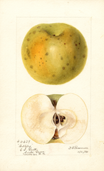 Apples, Baltzley (1895)