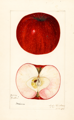 Apples, Baxter (1921)