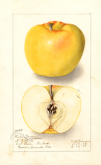 Apples, Winter Banana (1908)