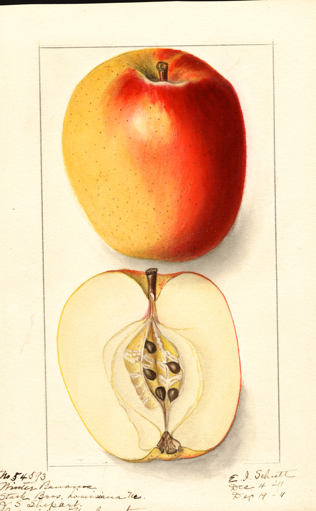 Apples, Winter Banana (1911)