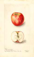 Apples, Admiral Schley (1904)