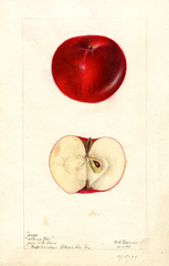 Apples, Akers Red (1897)