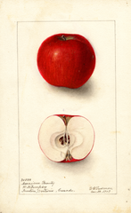 Apples, American Beauty (1903)