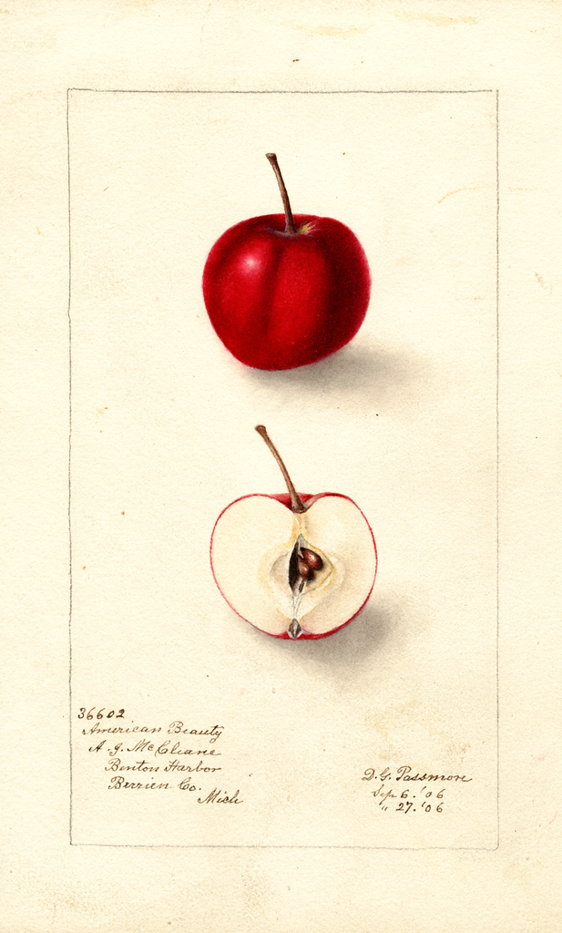 Apples, American Beauty (1906)