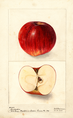 Apples, Anderson (1900)