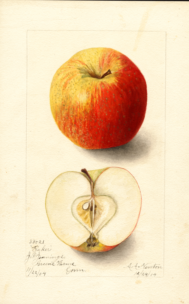 Apples, Baker (1904)