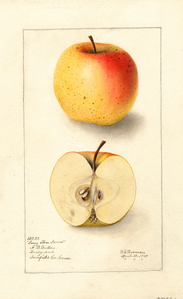 Apples, Long Stem Sweet (1907)