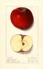 Apples, Balcoms Best (1912)