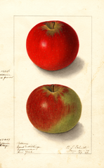 Apples, Baldwin (1909)