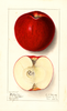 Apples, Baldwin (1911)
