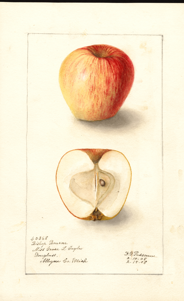 Apples, Bishop Bourne (1908)