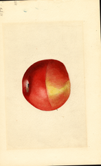 Apples, Black Ben (1919)
