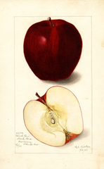 Apples, Black Ben (1905)