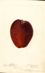 Apples, Black Gilliflower (1892)