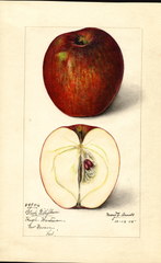 Apples, Black Gilliflower (1915)