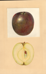 Apples, Black Gilliflower (1937)