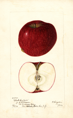 Apples, Black Hartford (1902)