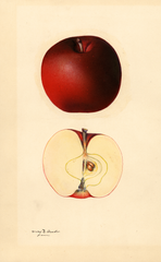 Apples, Black Jonathan (1932)