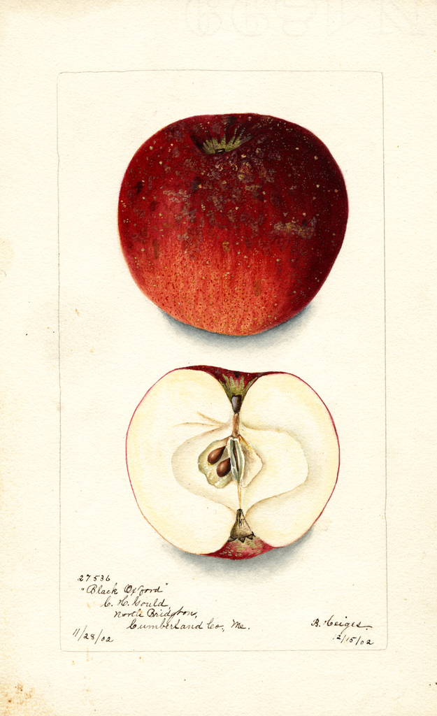 Apples, Black Oxford (1902)