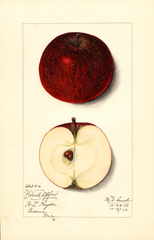 Apples, Black Oxford (1913)