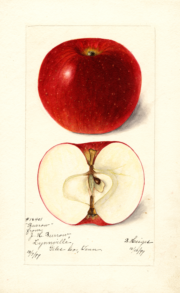 Apples, Burrow (1899)